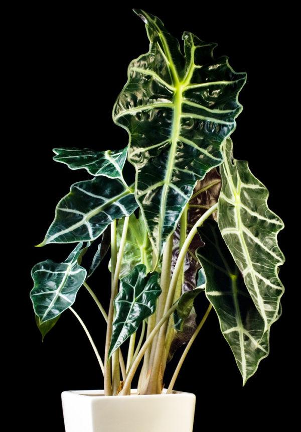 Декоративное растение.