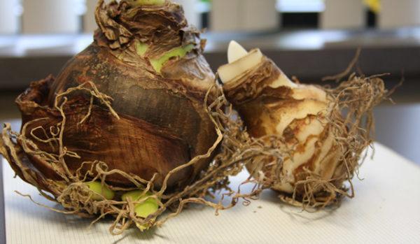 Луковицы растения.