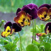 Низкие пышные кустики гибридных виол идеально подходят для декорирования садовых клемб.
