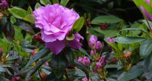 Пурпурные соцветия растения.