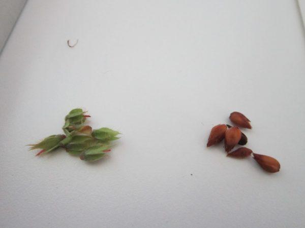 Зачатки растения.