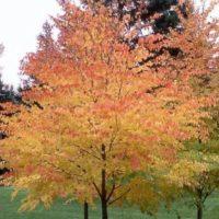 Дерево с желтыми листьями осенью