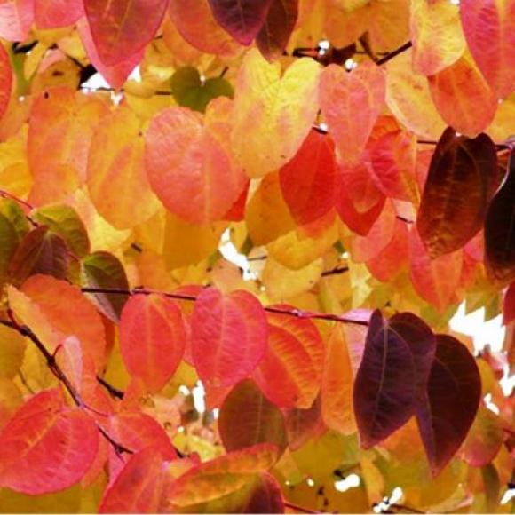 Листья оранжево-красного цвета