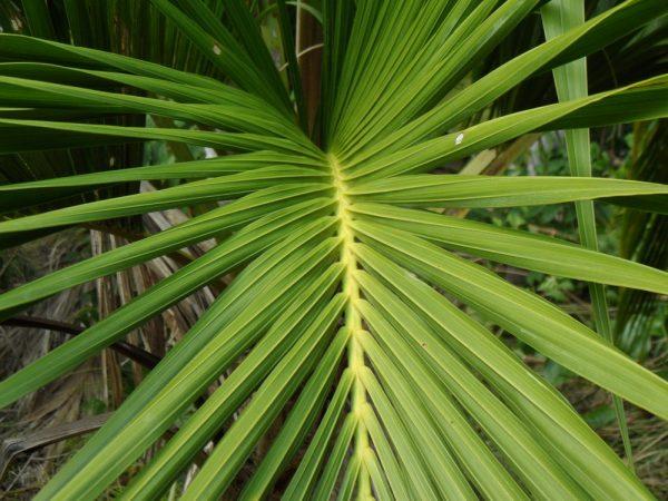 Веерообразный лист комнатной пальмы.