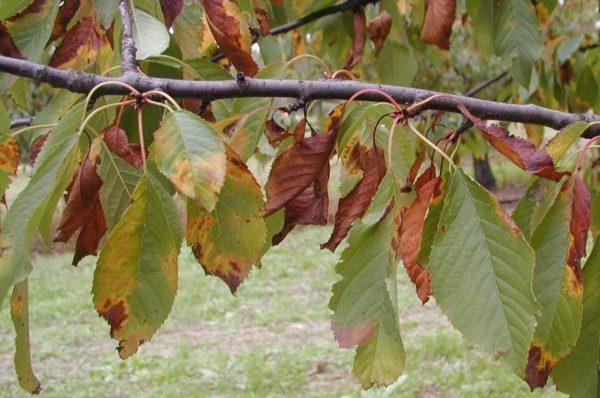 Поражение плодового дерева.