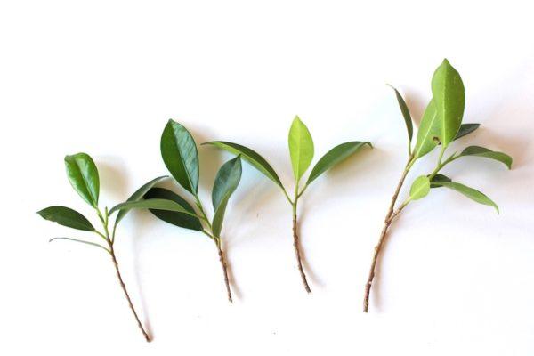 Побеги растения.