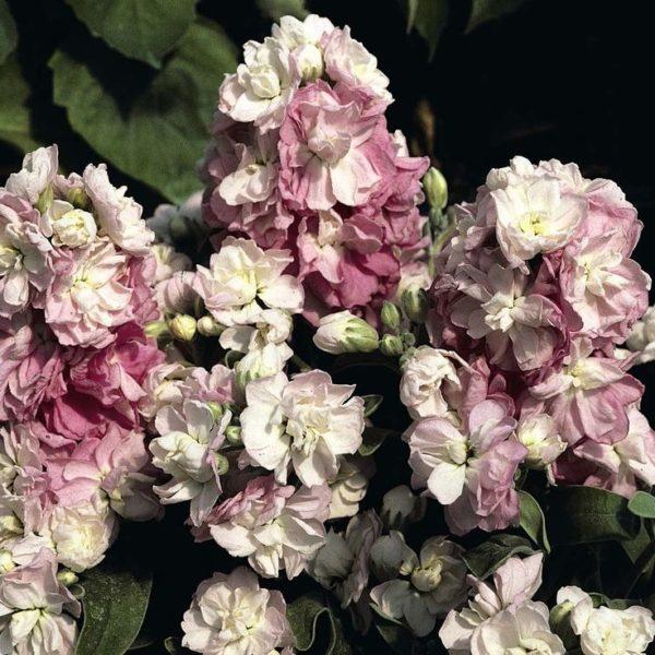Пышные соцветия маттиолы.
