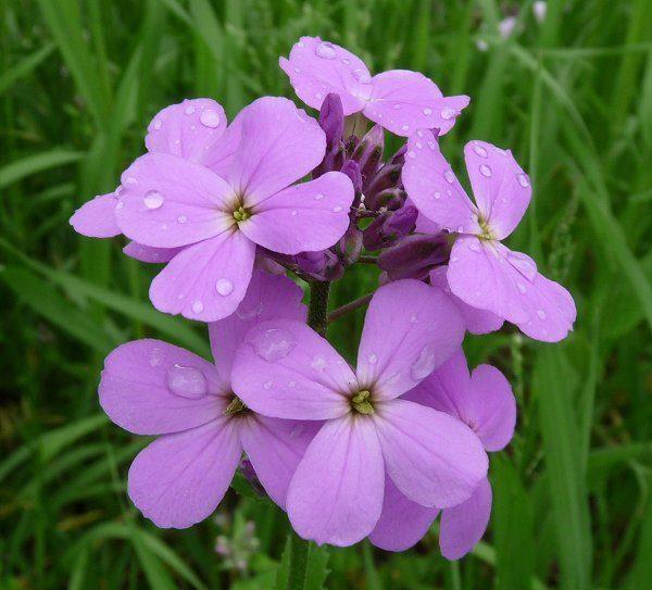 Пурпурные цветы.
