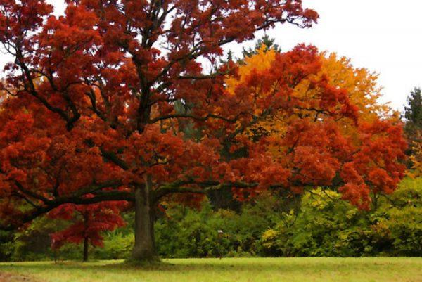 Для такого габаритного дерева необходимо много свободной площади.