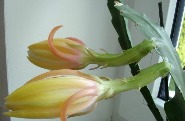Нераскрывшиеся бутоны кактуса