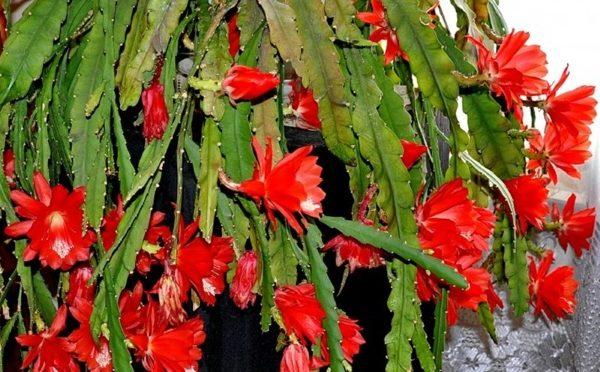 Обильно цветущий кактус-орхидея