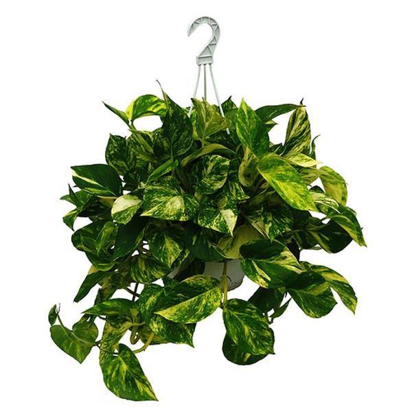 Растение в подвесном кашпо.