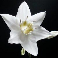 Белое соцветие.