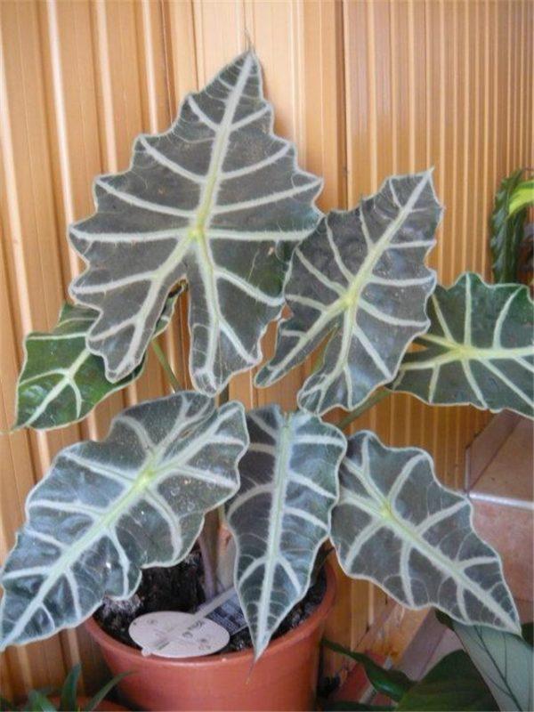 Большие декоративные листья культуры.