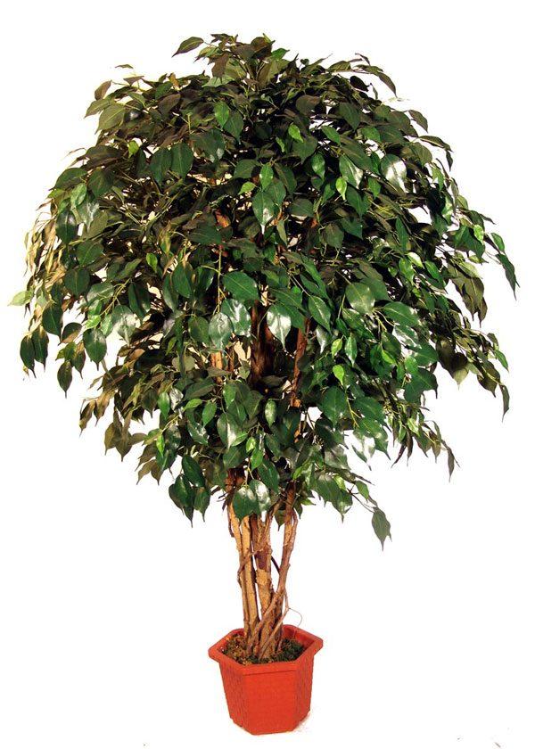 Дерево красивой плакучей формы с мелкими листьями.