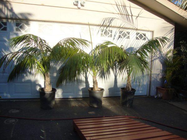 Четыре пальмы в кадках.