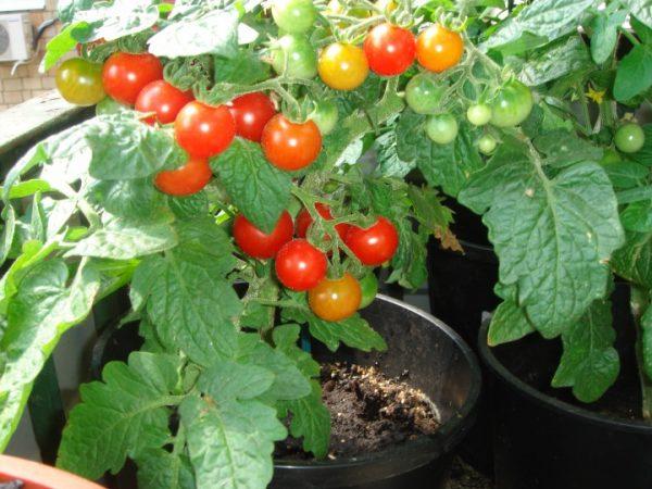 раннеспелый гибридный сорт томатов черри.