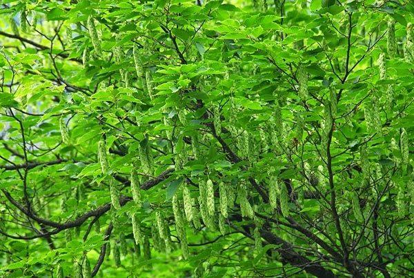Разновидность с полупрозрачными листьями