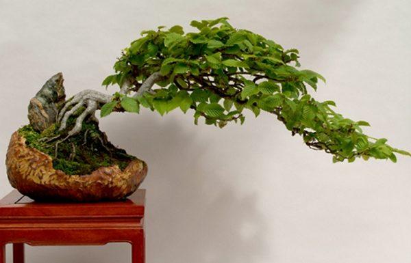 Бонсай из лиственных пород деревьев