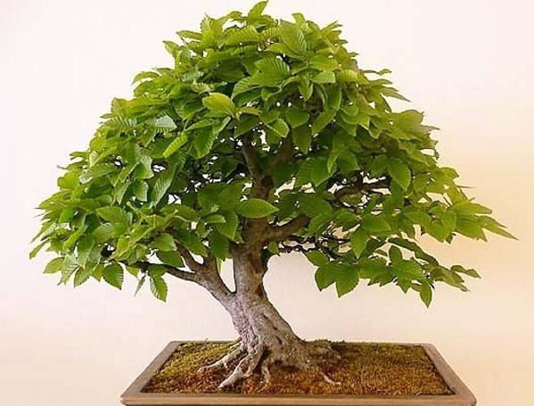 Декоративное дерево в домашних условиях