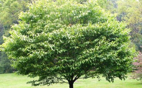 Взрослое дерево в дикой природе