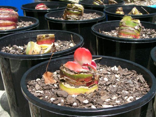Молодые растения из луковиц.