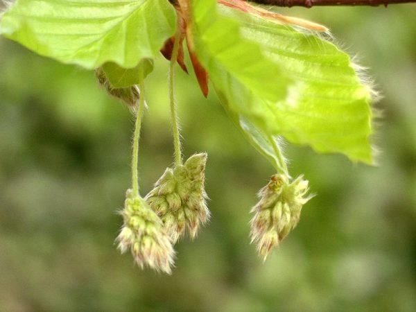 Цветы гигантского дерева распускаются весной.
