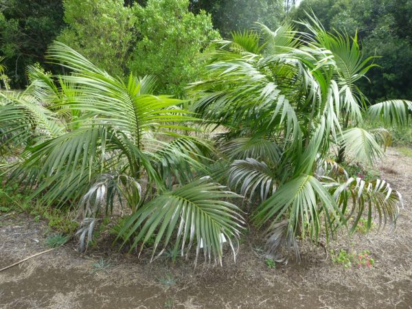 Пышная пальма с перистыми листьями.