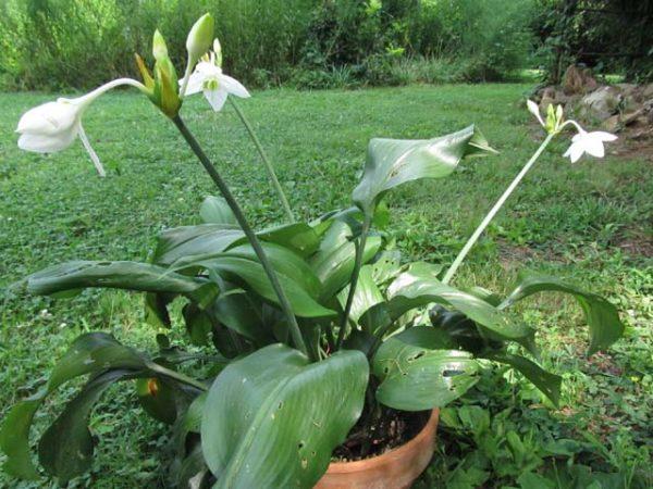 Растение в горшке на участке.