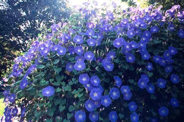 Голубое вьющееся растение.