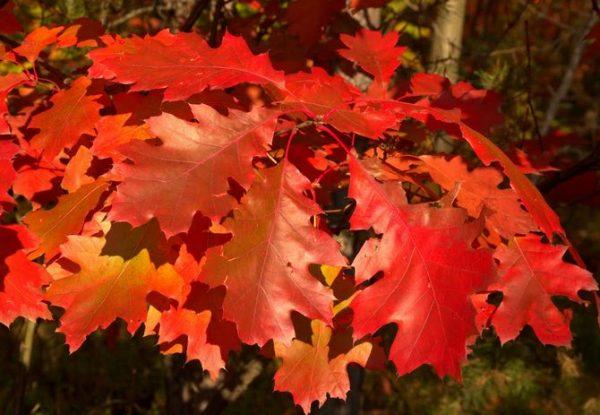 Необычная окраска листьев.