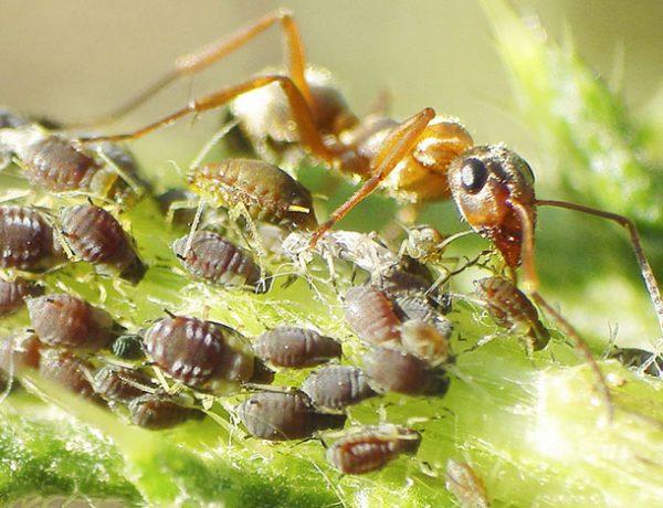 Симбиоз тли и муравьев.