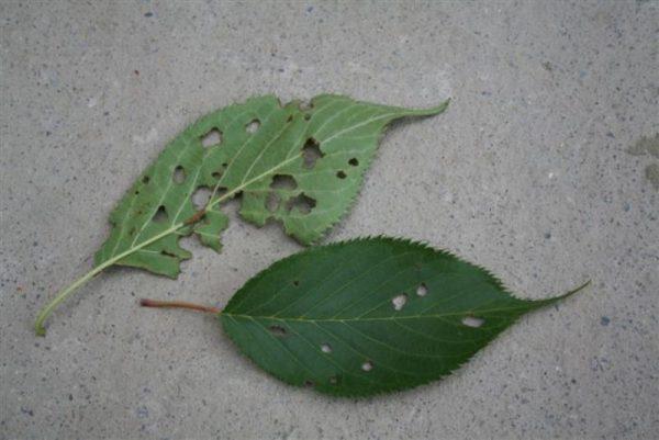 Сквозные дырки в листе вишни.