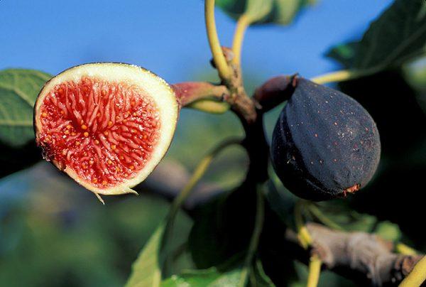 В зависимости от сорта плоды могут быть разных оттенков: от светло-зеленого до насыщенного синего.