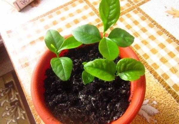 Молодое цитрусовое деревце