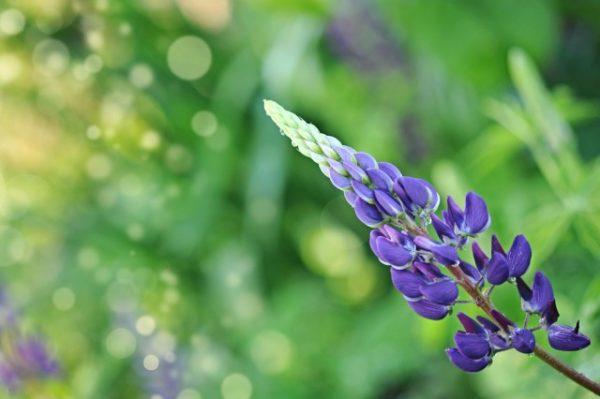 Синий цветок растения.