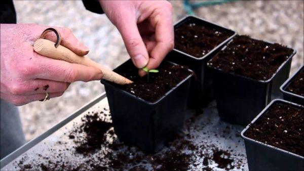 Рассаду пикируют с помощью деревянного колышка.