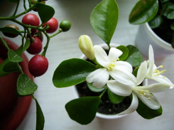 Цветок лучше посадить в небольшой горшочек с хорошим дренажем и рыхлой почвой.