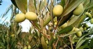 Маслиновое дерево.