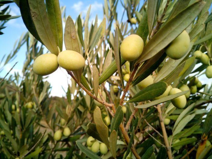 Через сколько плодоносит оливковое дерево