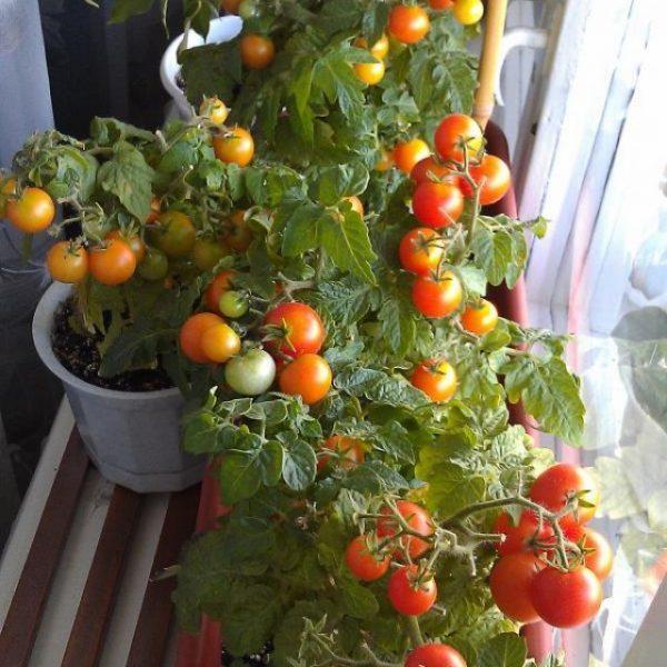 Урожай на кустах помидор черри зреет очень дружно.