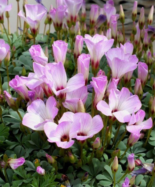 Пурпурные соцветия.