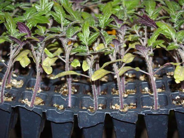 Каждое растение высажено в индивидуальный горшок.