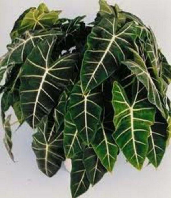 Растение с блеклыми листьями.