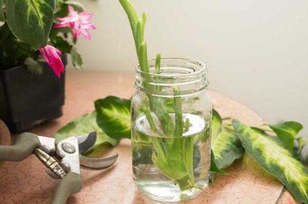 К воде для укоренения можно добавить стимуляторы роста.