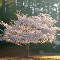 Цветущее плодоносящее дерево.
