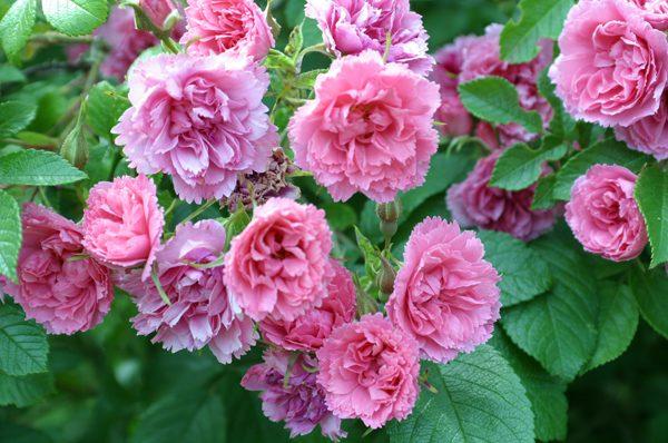 Роза сорта «Пинк Гротендорст»