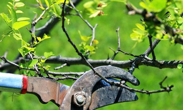 Обрезка ветвей садового дерева секатором.