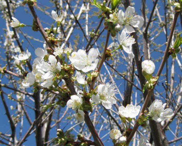 Цветение плодового дерева белыми цветами.