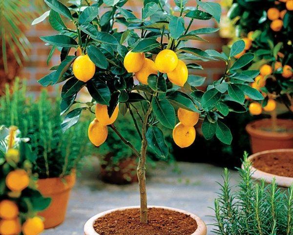 Декоративный лимон в кадке
